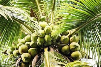 Dừa Việt - cây của cuộc sống
